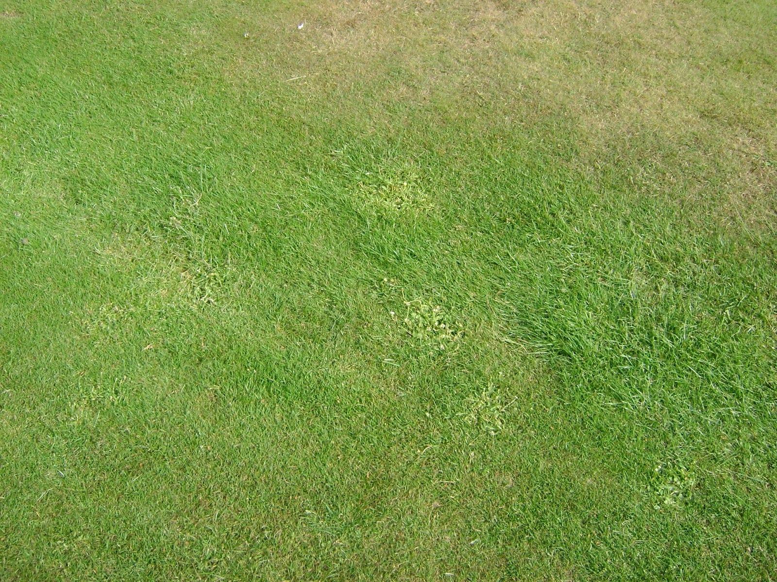 Bahia Grass Lawn