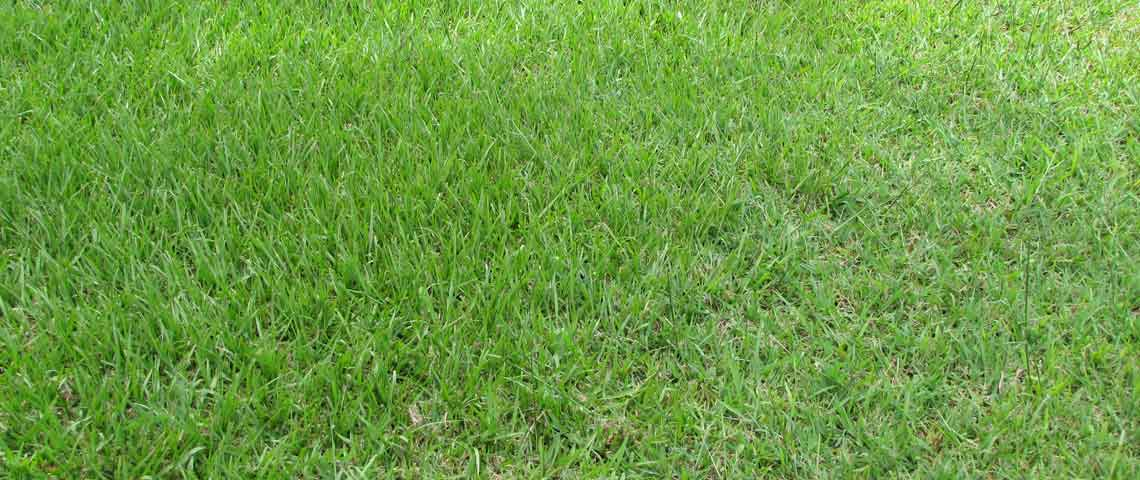 Bahia grass lawns
