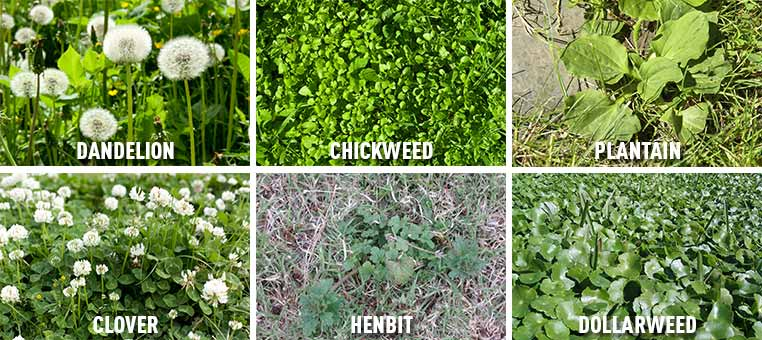 Broadleaf weeds in your lawn