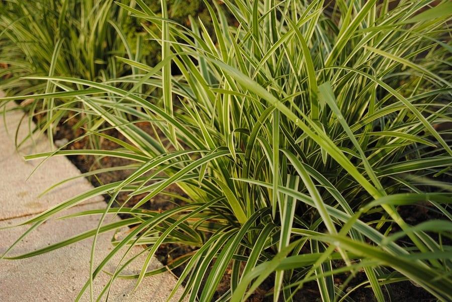 Carnex Grass