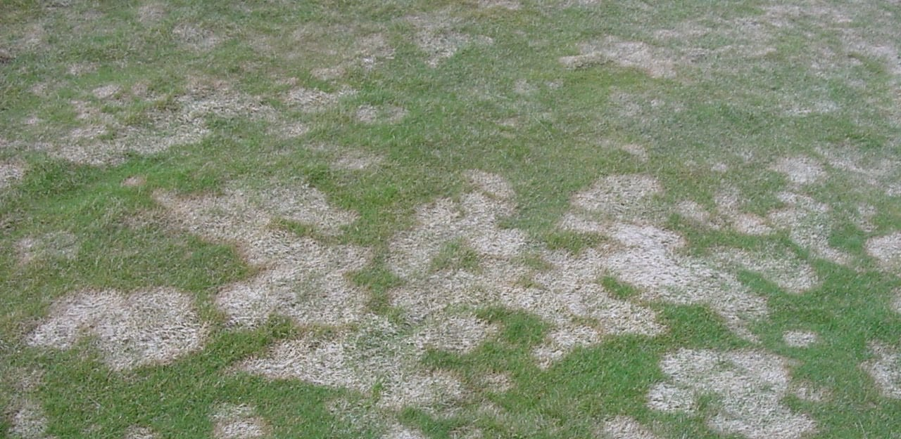 Snow mold on lawn