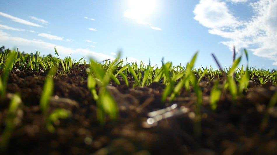 sow even grass buds