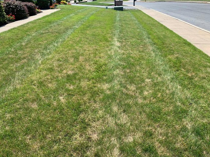 wilting leaf blade on lawn